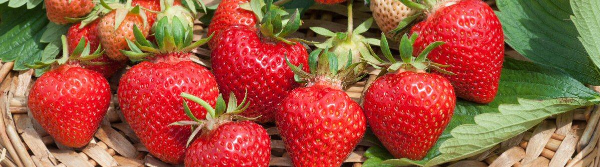 erdbeeren im frhjahr pflanzen fr den richtigen erfolg die erdbeeren dngen nicht vergessen with. Black Bedroom Furniture Sets. Home Design Ideas
