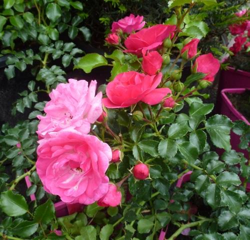 Bodendeckerrose Heidetraum Im Container 4 5 Ltr Pflanzen Rosen