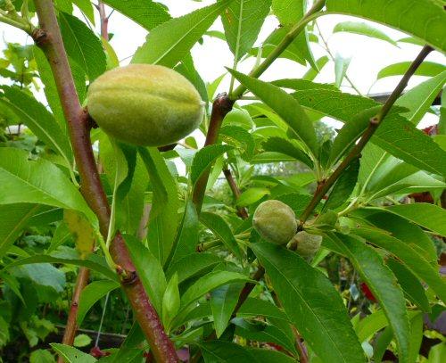 echte mandel d rkheimer krachmandel als buschbaum pflanzen obstb ume beerenobst pfirsich. Black Bedroom Furniture Sets. Home Design Ideas