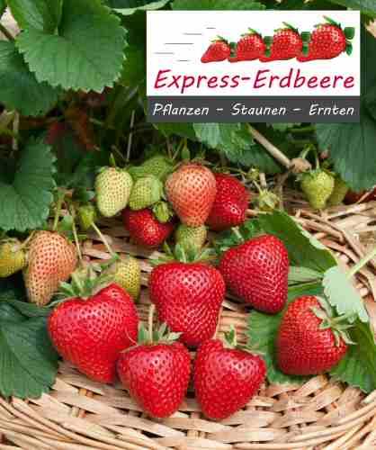 Express-erdbeerpflanze Thuchampion Im 1 Ltr Topf | Pflanzen ... Obstbaume Im Topf Sorten Anpflanzen