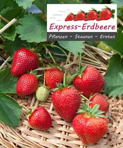 Express-erdbeerpflanze Thutop Im 1 Ltr Topf | Pflanzen | Obstbäume ... Obstbaume Im Topf Sorten Anpflanzen