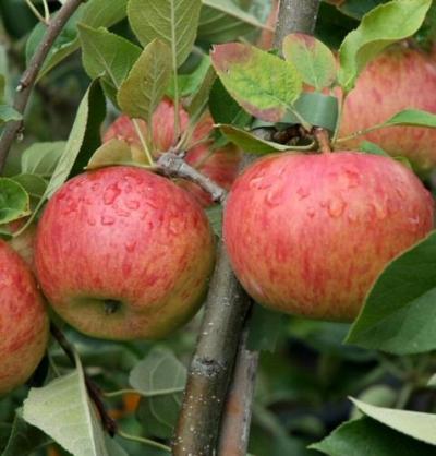 Apfel Busch Pflanzen : apfel topaz als buschbaum im container pflanzen ~ Lizthompson.info Haus und Dekorationen