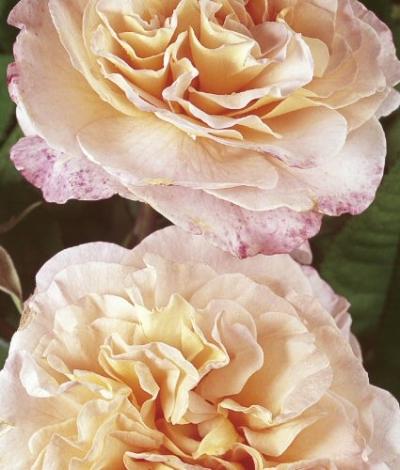 edelrose augusta luise im container 5 ltr pflanzen rosen. Black Bedroom Furniture Sets. Home Design Ideas
