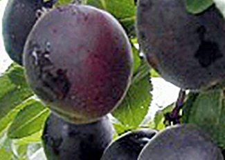h berli obst aprikose x pflaumeaprisali pflanzen obstb ume beerenobst. Black Bedroom Furniture Sets. Home Design Ideas
