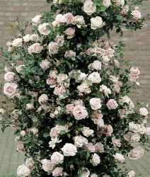 Kletterrose New Dawn im Container 5 ltr