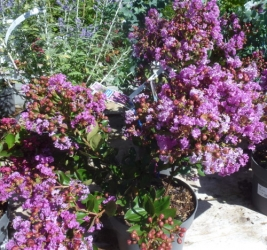 Lagerstroemia indica im Container 5 ltr