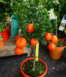Citrus sinensis Orange Stamm PT 24
