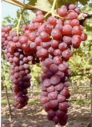 Häberli Robustarebe <br /> ROBUSTAREBE® SUFFOLK RED Vitis* in C3