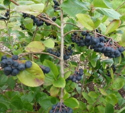 Aronia melanocarpa Viking<br /> Co 3ltr 40-50