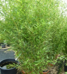 Bambus Phyllostachys bissetii im Container 18 ltr
