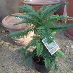 Wollemi Pine (Wollemia nobilis) im Container 3 ltr