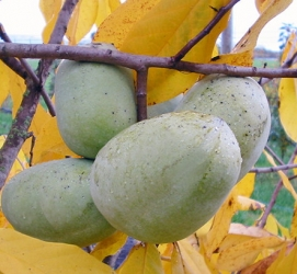 Peterson Pawpaws ALLEGHENY C6