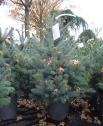 Picea pungens Super Blue Seedling