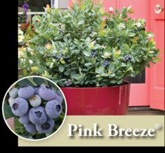 NEU: Brazelberries Pink Breeze im Container 6,5 ltr