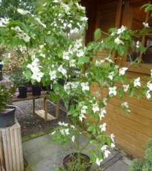 Cornus kousa China Girl<br /> Co 12ltr 125+cm